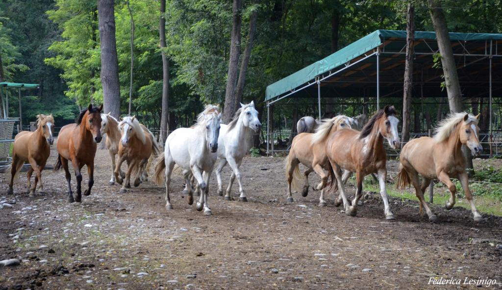 cavalli in branco
