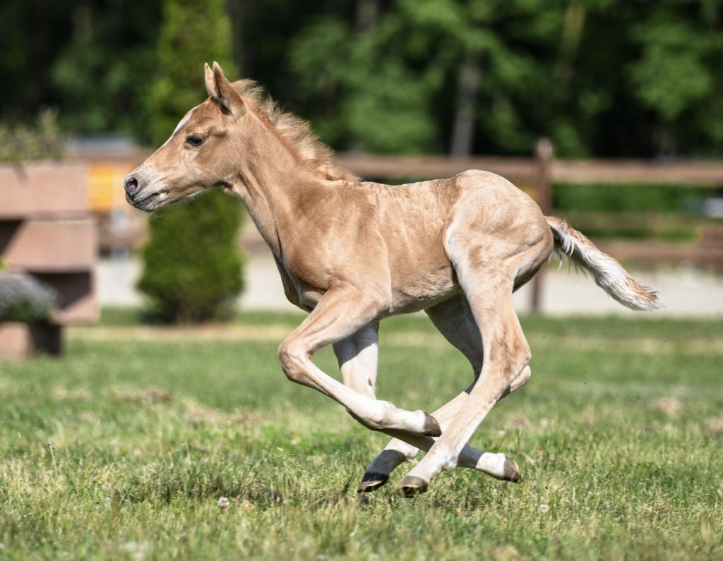 Puledro Quarter Horse in Vendita